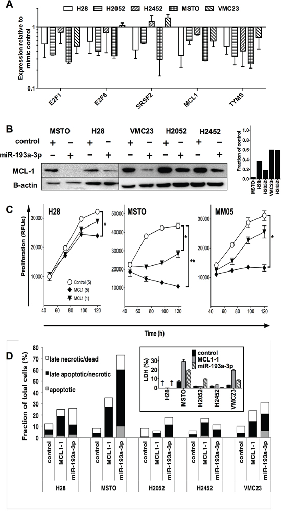 Transfection with miR-193a-3p mimics reduces MCL-1 and increases apoptosis and necrosis in MPM cells.