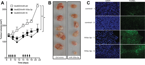 Effect of systemic administration of miR-193a-3p mimics on the growth of MPM xenografts.