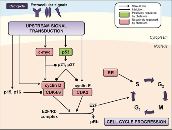 Iron chelation modulates multiple regulators of the cell cycle.