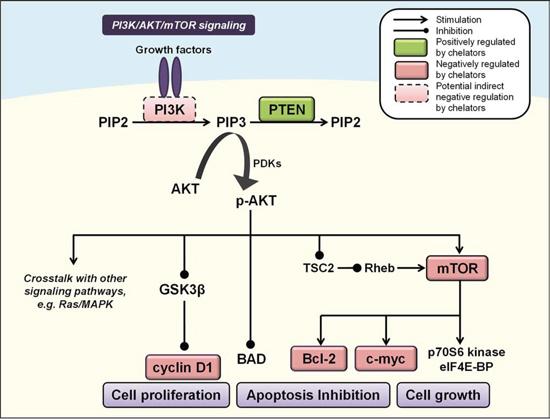 Iron chelators modulate PI3K/AKT signaling.