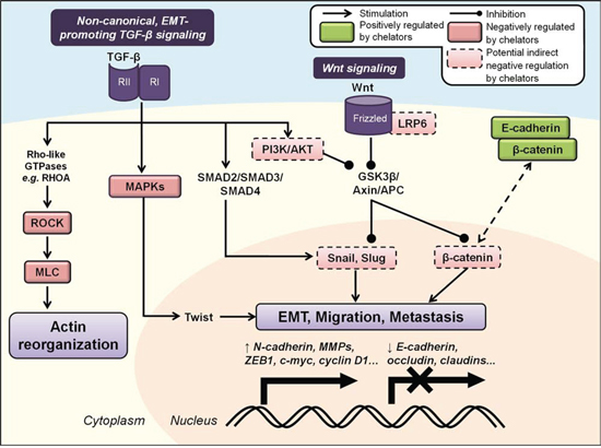 Iron chelators regulate the epithelial-to-mesenchymal transition (EMT) and molecular motors involved in cancer cell migration and metastasis.