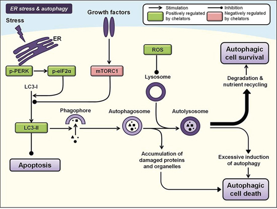 Iron chelation modulates ER stress and autophagy pathways.