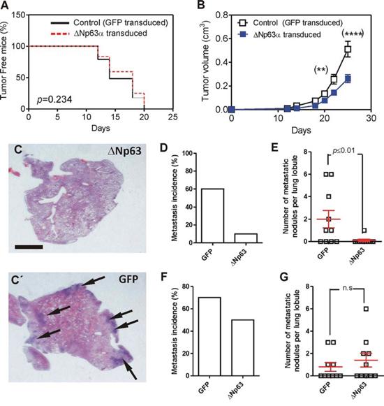Expression of huΔNp63α decreases spontaneous metastasis development.