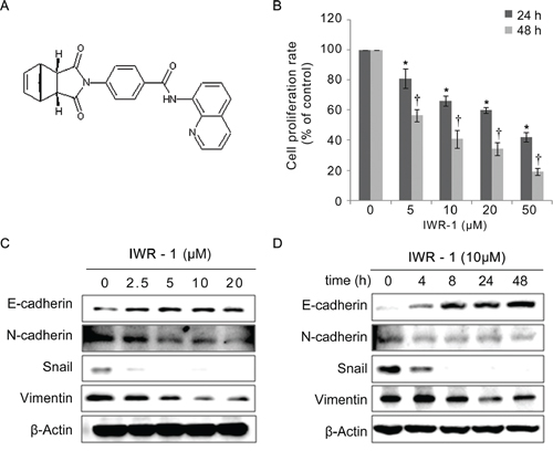 Effects of IWR-1 on proliferation and EMT in HCT116 colon cancer cells.