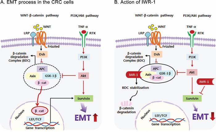 Proposed mechanism of IWR-1 related to EMT and survivin in colorectal cancer cells.