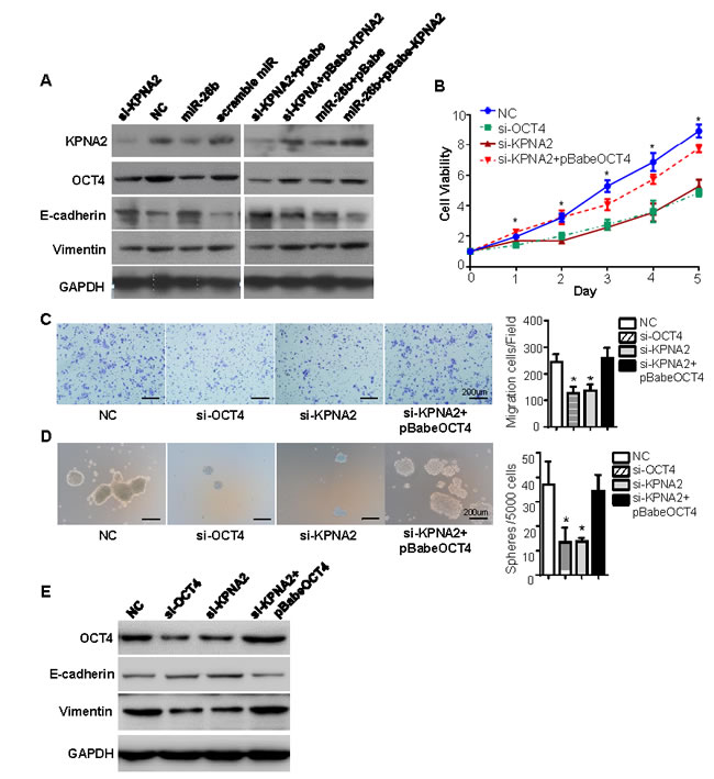 miR-26b/KPNA2 inhibits EOC cell growth, migration and sphere-forming capacity through decreasing OCT4 expression