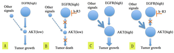 The hypothesis explaining the mechanism of blockage of EGFR by h-R3 and inactivation of Akt which lead to better survival in patients having tumors EGFR high/p-Akt low (