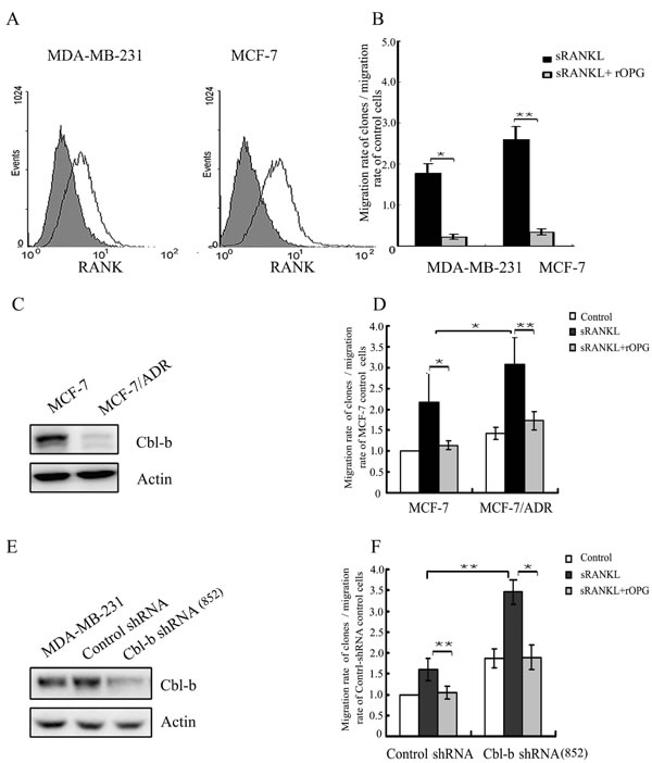 Cbl-b negatively regulated RANKL induced breast cancer cell migration.