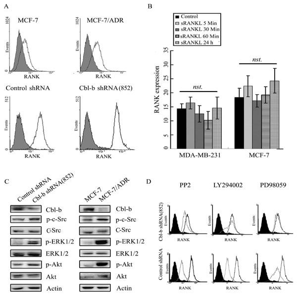 Cbl-b negatively regulated RANK expression by inhibiting p-Src, p-Akt, and p-ERK levels.