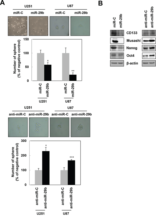 miR-29b regulates the maintenance of stemness in GBM cells.
