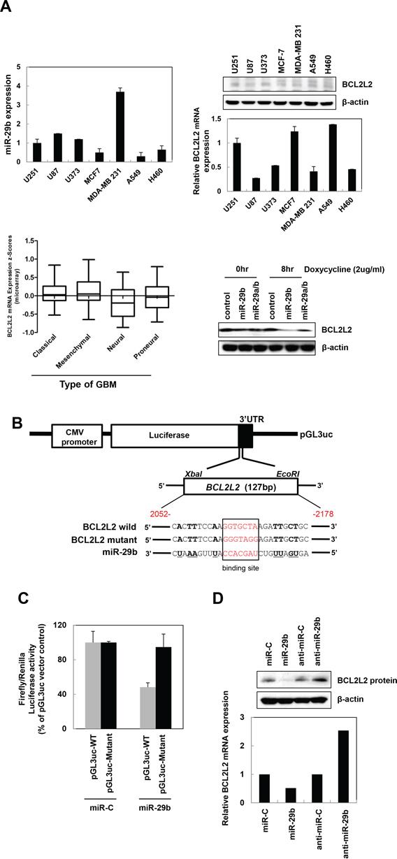 BCL2L2 is a direct target gene of miR-29b.