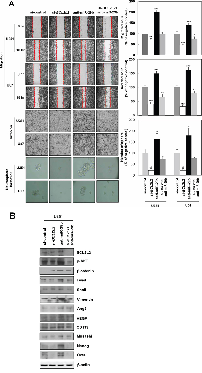miR-29b directly decreases malignant actions of BCL2L2 in GBM cells.