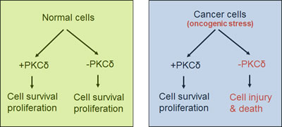 PKCδ in survival of normal versus cancer cells.