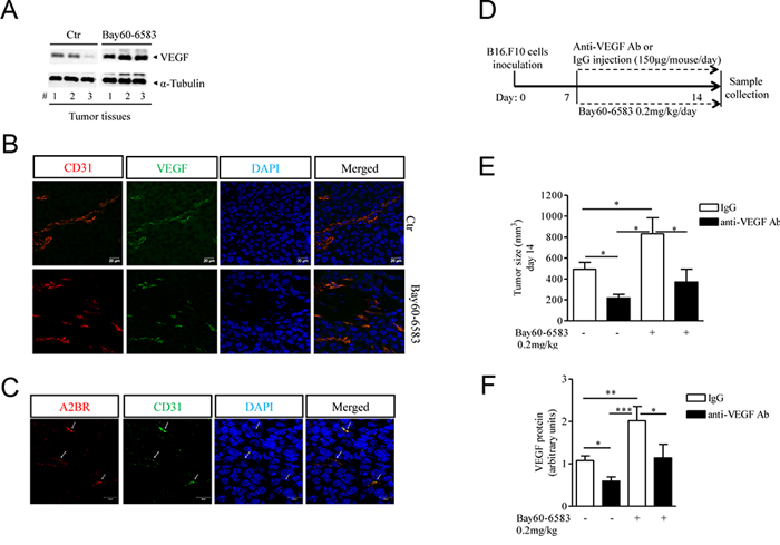 Increased tumor angiogenesis in melanoma-bearing mice treated with Bay60-6583 compared with control mice.