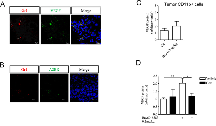 CD11b+Gr1+ cells produce VEGF, that contributes to tumor angiogenesis.