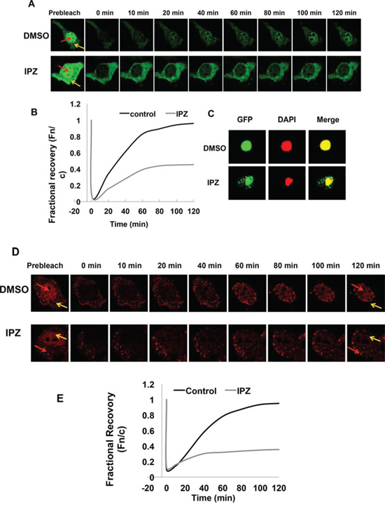 Nuclear translocation of AR-Vs is importin β-dependent.