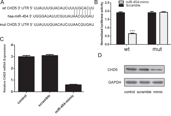 Figue 6: CHD5 was a direct target of miR-454.