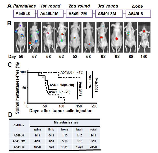 Establishment of the spinal metastasis model.
