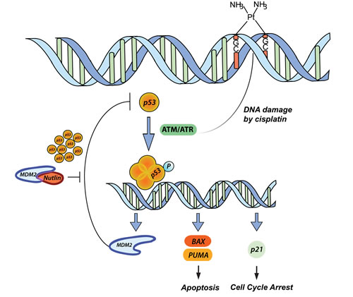 p53 pathway in response to CDDP and Nutlin-3 therapy.