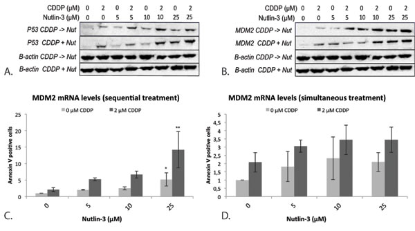 Expression of the p53 protein and its negative regulator MDM2 after simultaneous and sequential combination therapy in the p53 wild type cell line A549.