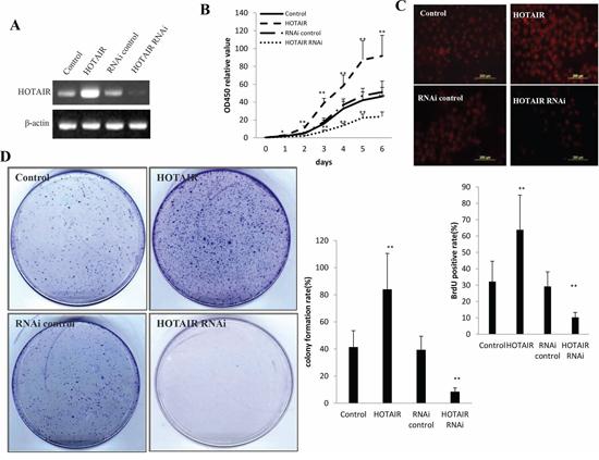 HOTAIR accelerlates human liver cancer stem cells (hLCSC) growth in vitro.