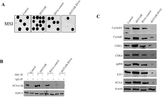 HOTAIR triggers MSI and abnormral gene expression in stable human liver cancer stem cell (hLCSC) transfected with pCMV6-A-GFP, pCMV6-A-GFP-HOTAIR, pGFP-V-RS, pGFP-V-RS-HOTAIR.