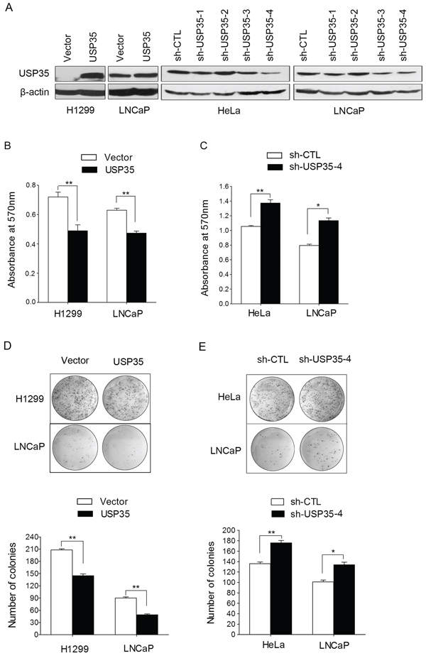 USP35 inhibits cancer cell proliferation.