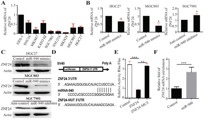 MiR-940 negatively regulates ZNF24 by binding to the ZNF24 3′UTR.