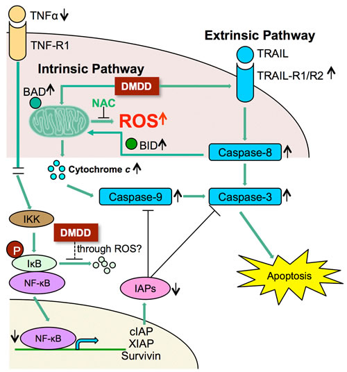 Potential scheme of intrinsic and extrinsic apoptotic pathway induction by DMDD.