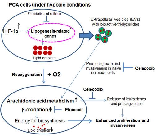 Hypoxia induces PCA aggressiveness