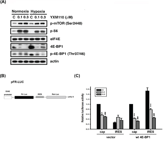 YXM110 suppresses cap-independent translation through 4E-BP1 deletion.