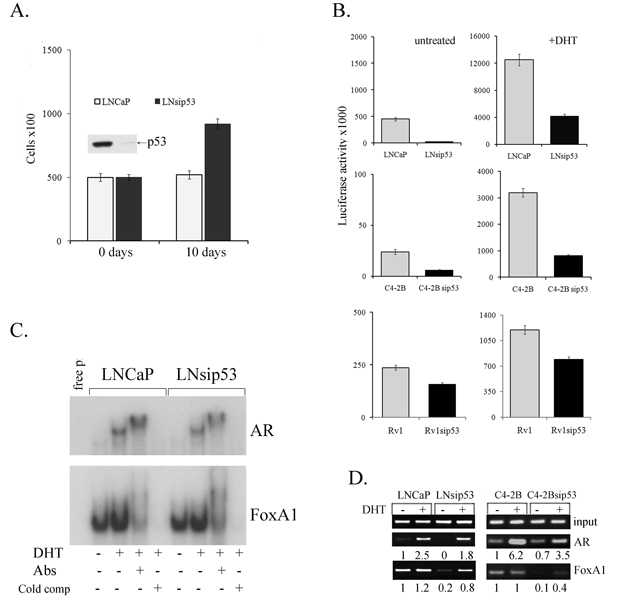 Effects of p53 inhibition on proliferation of LNCaP and on the specificity of chromatin binding by AR.