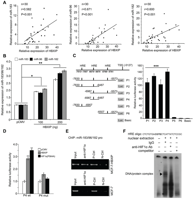 HBXIP activates miR-183/96/182 promoter through transcriptional factor HIF1α.
