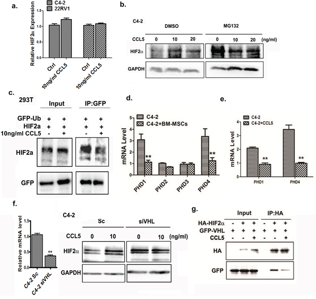 CCL5 suppresses the ubiquitination of HIF2α through VHL.