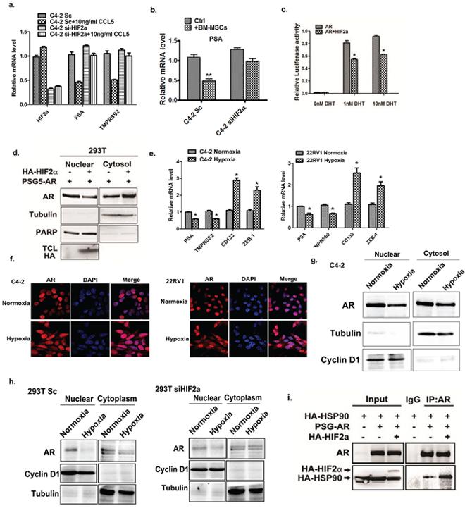 HIF2α suppress AR transactivation activity.