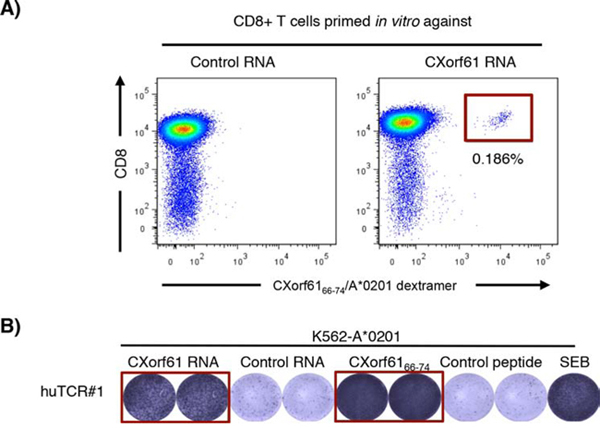Induction of human CXorf61-specific T cells in vitro and cloning of a CXorf61-specific human TCR.