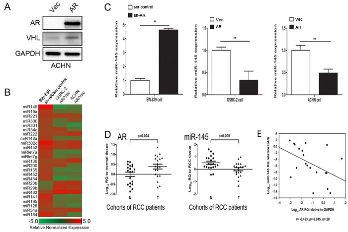 AR suppresses miR-145 expression in RCC cells.