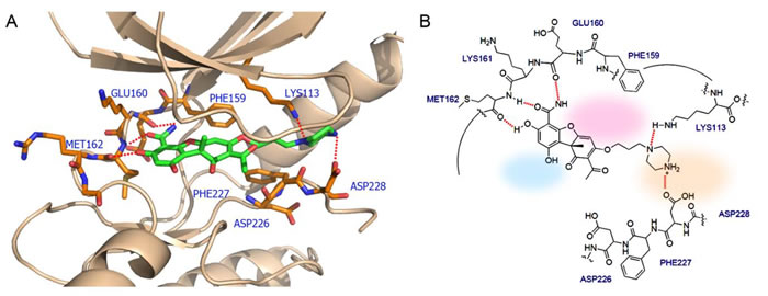 The interactions between Mnk2 and the proposed inhibitor which not only acts as ATP competitor but also interacts with the DFD motif.