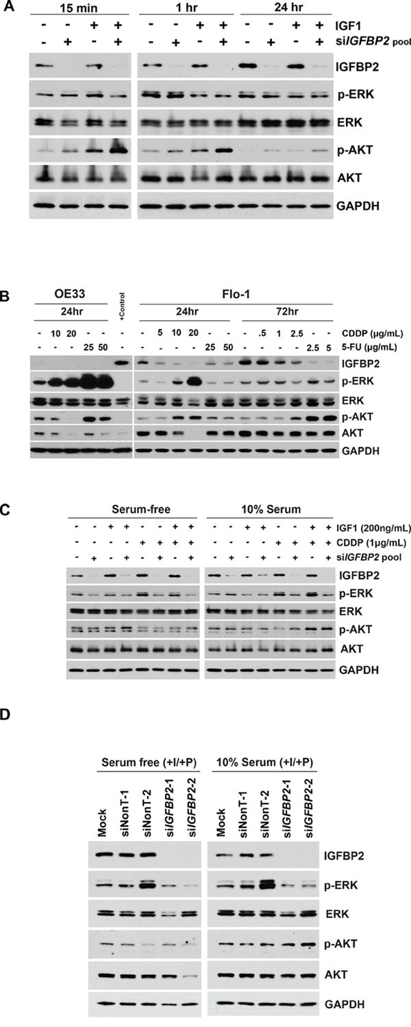 Effect of IGF1 and chemotherapy on expression of IGFBP2 and its downstream targets.