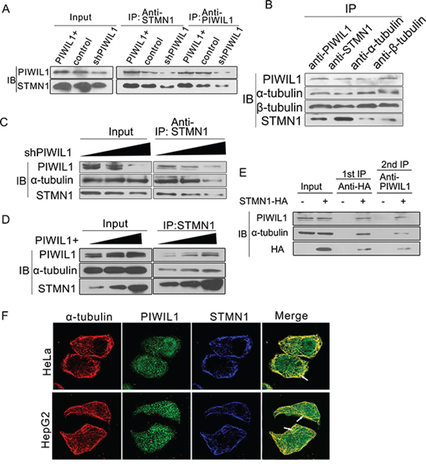 PIWIL1 can enhance formation of PIWIL1-tubulin-STMN1 complex.