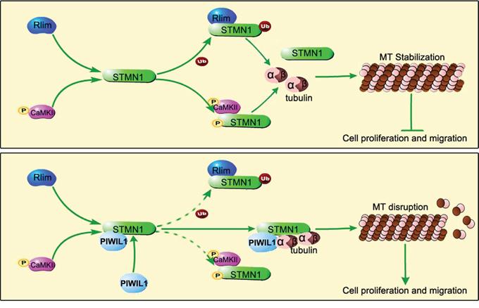 Model of PIWIL1 modulation on microtubule dynamics via STMN1.