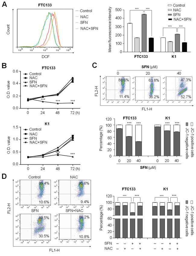 Induction of ROS production and the loss of mitochondrial membrane potential (MMP) by SFN in thyroid cancer cells.