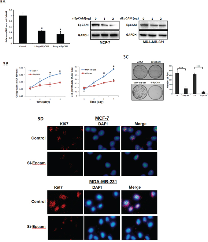 Tumor suppressive functions of si-EpCAM in breast cancer cells.