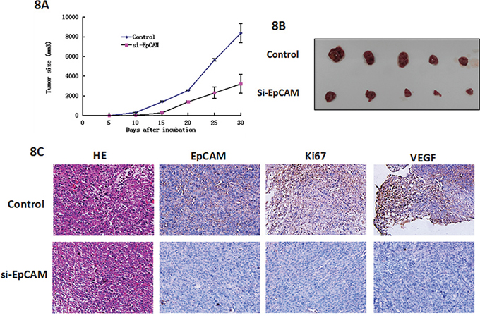 Effects of EpCAM downregulation on tumor growth and metastasis in a xenograft nude mice model.