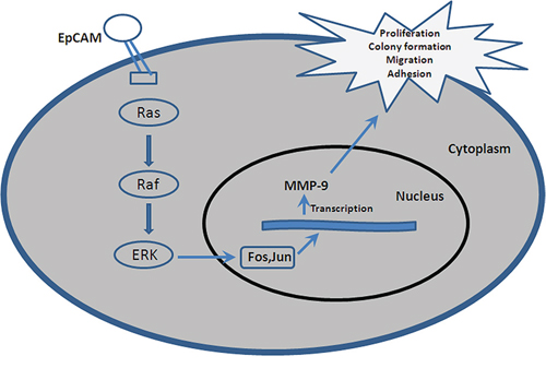 A hypothetical schematic of the contribution of EpCAM to breast cancer cells via the Ras/Raf/ERK signaling pathway.