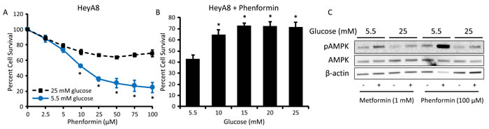 Hyperglycemia inhibits the effects of phenformin on cell viability and AMPK activation.