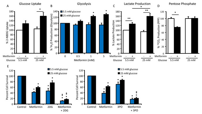Increased glycolytic flux impairs metformin sensitivity in hyperglycemic conditions.