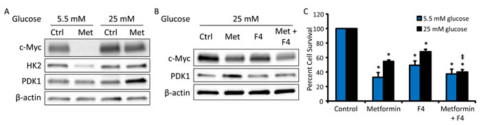 c-Myc inhibition restores metformin sensitivity in hyperglycemic conditions.