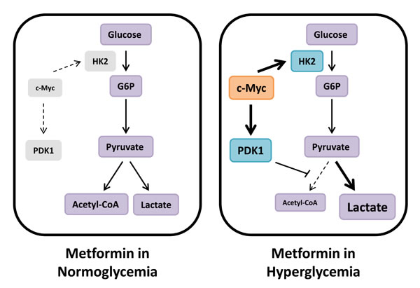 Metabolic compensation in hyperglycemia reduces metformin sensitivity.