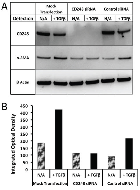 Induction of α-SMA in human pericytes and suppression effects of targeting CD248.